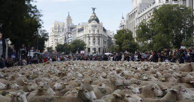 El domingo 24 de octubre las ovejas toman Madrid